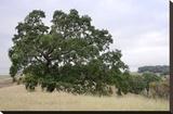 Oak Tree 107