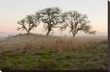 Oak Tree 31