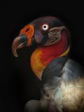 King Vulture-Sarcoramphus Papa