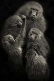"Baboons ""United"""
