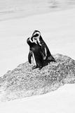 Awesome South Africa Collection B&W - Penguin Lovers III