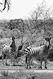 Awesome South Africa Collection B&W - Two Zebras on Savanna III