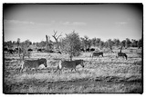Awesome South Africa Collection B&W - Zebras Herd on Savanna III