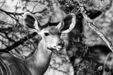 Awesome South Africa Collection B&W - Portrait of Nyala Antelope II
