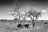 Awesome South Africa Collection B&W - Two White Rhinoceros IV