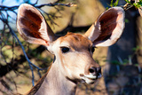 Awesome South Africa Collection - Portrait of a Female Nyala Antelope I