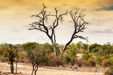 Awesome South Africa Collection - Savanna Tree at Sunset