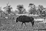 Awesome South Africa Collection B&W - Blue Wildebeest