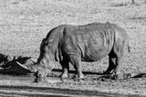 Awesome South Africa Collection B&W - Black Rhinoceros II