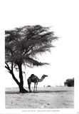 Camel and Tree  Desert of Mauritania