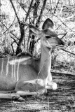 Awesome South Africa Collection B&W - Nyala Antelope II