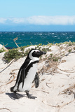 Awesome South Africa Collection - African Penguin at Boulders Beach XIV