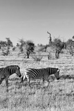 Awesome South Africa Collection B&W - Two Zebras on Savanna