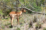 Awesome South Africa Collection - Young Impala