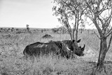 Awesome South Africa Collection B&W - Two White Rhinoceros I