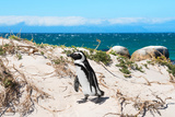 Awesome South Africa Collection - African Penguin at Boulders Beach XIII
