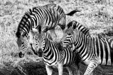 Awesome South Africa Collection B&W - Group of Common Zebras Papier Photo par Philippe Hugonnard