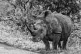 Awesome South Africa Collection B&W - Black Rhinoceros with Oxpecker III
