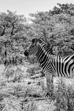 Awesome South Africa Collection B&W - Portrait of Burchell's Zebra