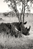 Awesome South Africa Collection B&W - Two White Rhinoceros II
