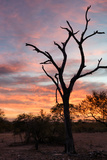 Awesome South Africa Collection - Savanna Tree at Sunrise