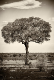 Awesome South Africa Collection B&W - Portrait of an Acacia Tree