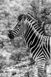 Awesome South Africa Collection B&W - Portrait of Burchell's Zebra II