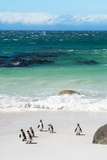 Awesome South Africa Collection - African Penguins at Boulders Beach VII