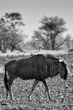 Awesome South Africa Collection B&W - Blue Wildebeest II