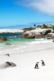 Awesome South Africa Collection - African Penguins at Boulders Beach III