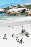Awesome South Africa Collection - African Penguins at Boulders Beach IX
