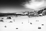 Awesome South Africa Collection B&W - African Penguins at Foxi Beach