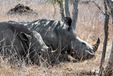 Awesome South Africa Collection - Two white Rhino slepping