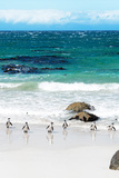 Awesome South Africa Collection - African Penguins at Boulders Beach V