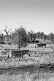 Awesome South Africa Collection B&W - Two Zebras on Savanna II