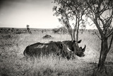 Awesome South Africa Collection B&W - Two White Rhinoceros