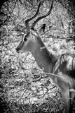 Awesome South Africa Collection B&W - Portrait of Impala