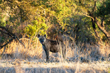 Awesome South Africa Collection - Hyena at Sunset