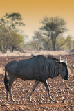 Awesome South Africa Collection - Blue Wildebeest at Sunset I