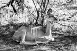 Awesome South Africa Collection B&W - Nyala Antelope