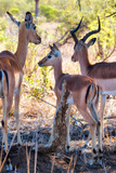 Awesome South Africa Collection - Impala Family I