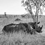 Awesome South Africa Collection Square - Two Rhinoceros sleeping B&W