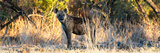 Awesome South Africa Collection Panoramic - Hyena at Sunrise