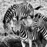 Awesome South Africa Collection Square - Three Zebras B&W