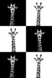 Safari Profile Collection - Giraffes