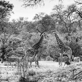 Awesome South Africa Collection Square - Two Giraffes and Herd of Zebras B&W