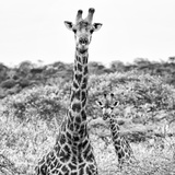 Awesome South Africa Collection Square - Portrait of Two Giraffes B&W