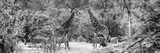Awesome South Africa Collection Panoramic - Giraffes and Burchell's Zebra B&W Papier Photo par Philippe Hugonnard