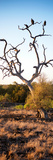 Awesome South Africa Collection Panoramic - Cape Vulture on a Tree at Sunrise