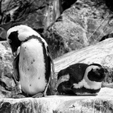 Awesome South Africa Collection Square - African Penguin B&W